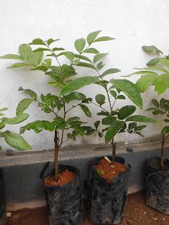 kelengkeng aroma durian berkualitas