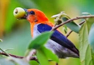 Burung Kemade Jantan Dewasa