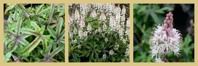 Tiarella 'Candy striper' Plantas de sombra en el jardín