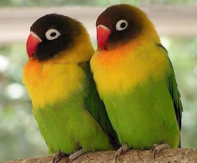 Lovebird Tidak Mau Kawin