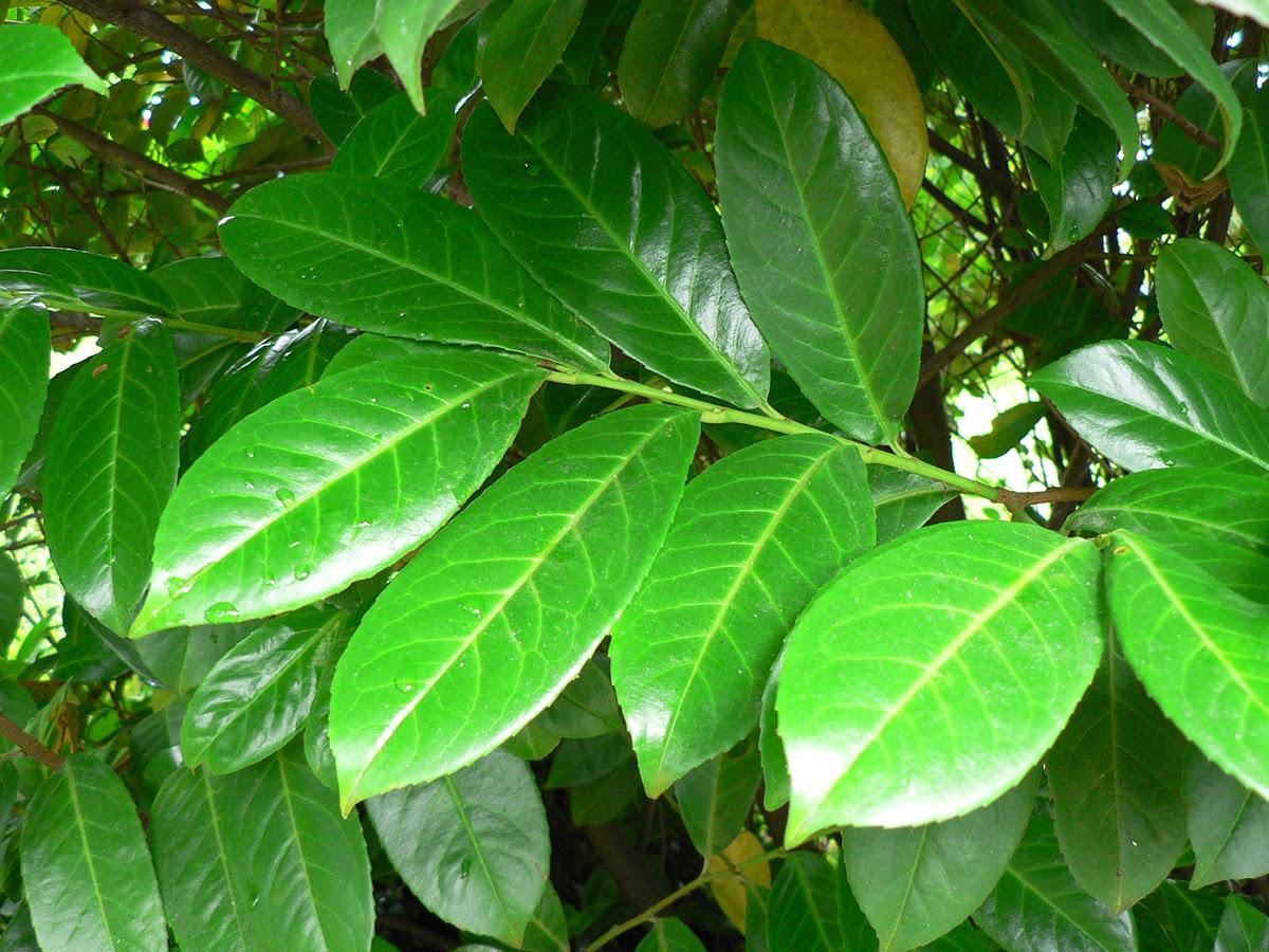 planta ornamental hojas acorazonadas particularmente de