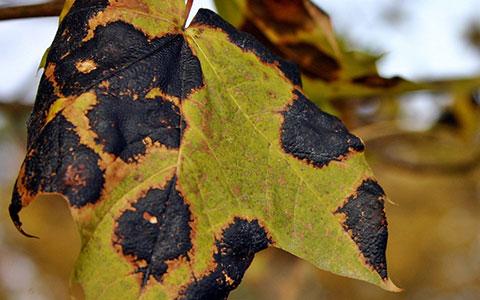 Dark brown irregular blotches on foliage indicates an anthracnose infection