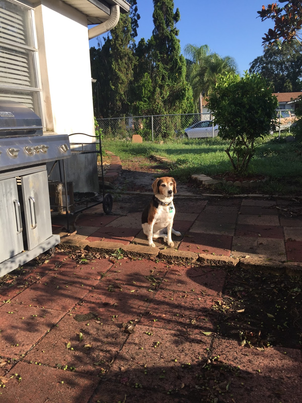 life with beagle what hurricane irma taught me about dogs disasters