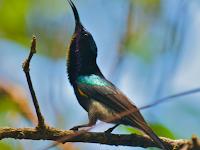 Kolibri Ninja Yang Memiliki Mental Juara