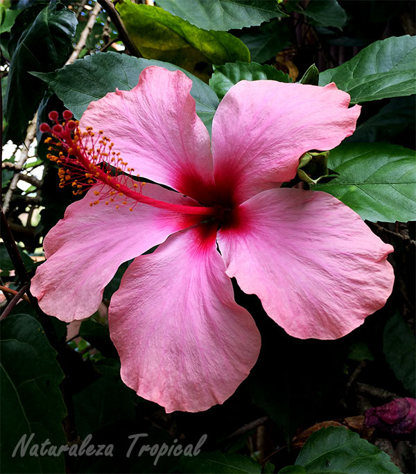 Naturaleza tropical curiosidades que no sab as sobre los for Rosas chinas