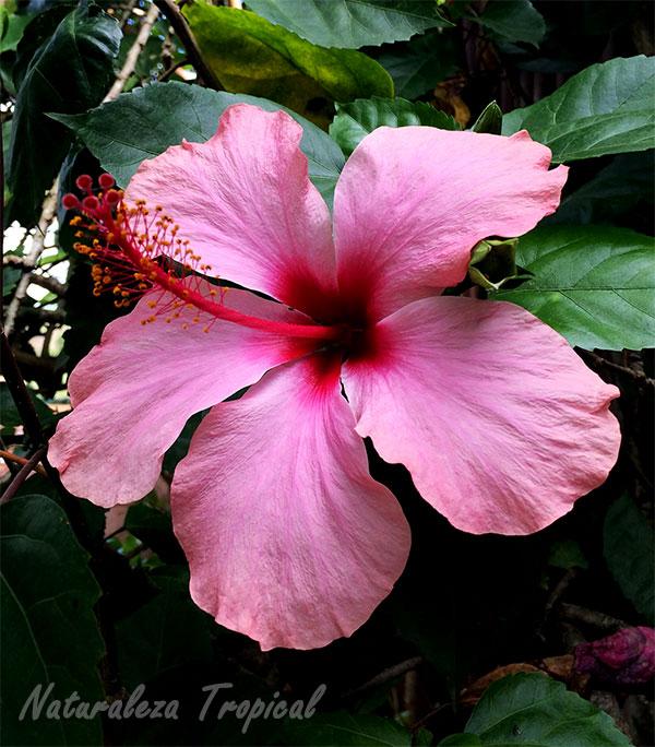 Flor Hibiscus rosa-sinensis, Rosa de China