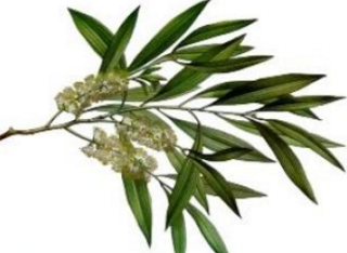 Tea Tree Oil a Home Remedies to stay away from lice