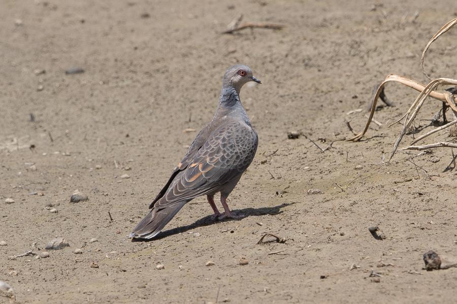 Dusky Turtle Dove