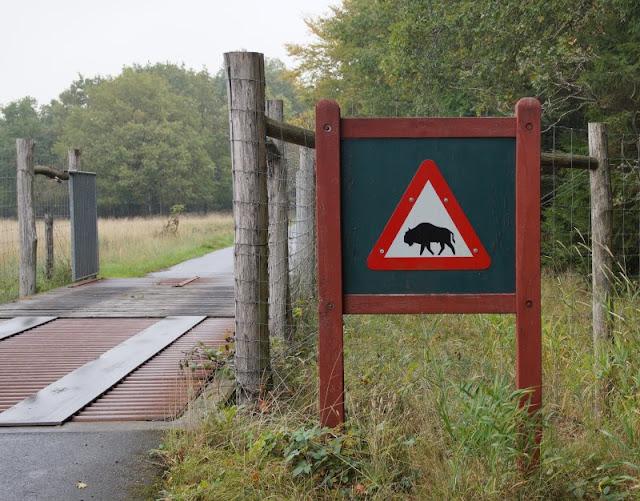 Bornholm mit Kindern im Herbst. Teil 3: 10 tolle Ausflugsziele für Familien auf Dänemarks Sonneninsel. In Almindingen gibt es auch Bisons bzw. Wisente.