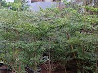 Panduan Menanam Pohon Ketapang Kencana di Halaman Rumah