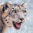What's really happening with Snow Leopards...