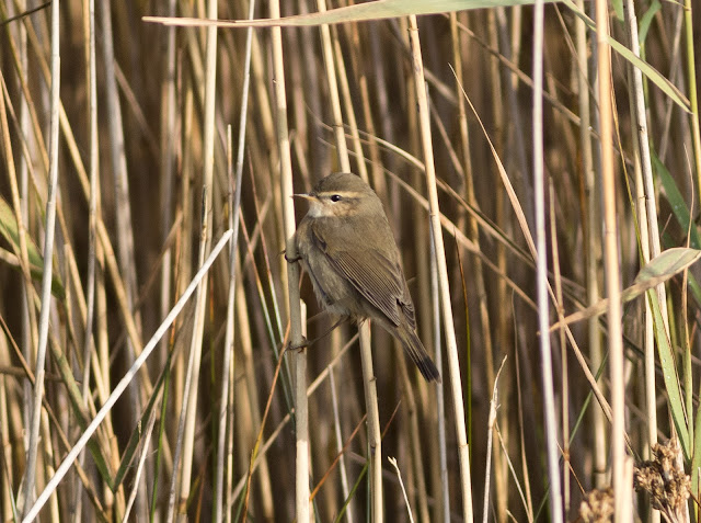 Dusky Warbler - Spurn, Yorkshire