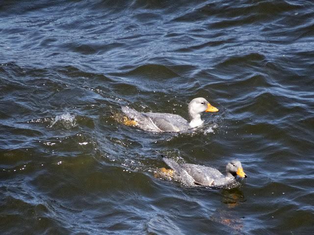 Birds of Patagonia: Flightless steamer-ducks