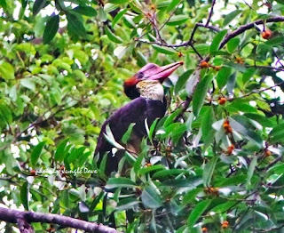 Helmeted Hornbill in Brunei