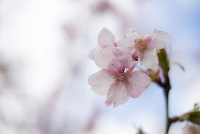 桜 河津桜