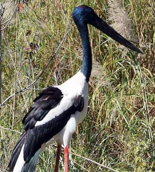 Ephippiorhynchus asiaticus