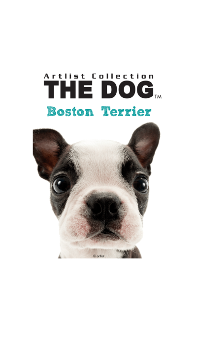 THE DOG Boston Terrier