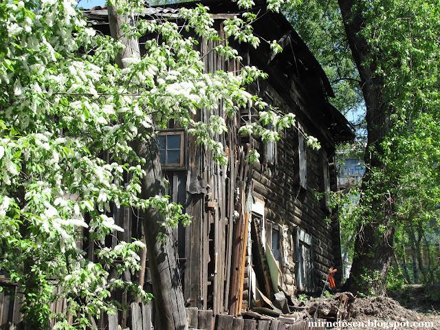 Томск весной, черёмуха