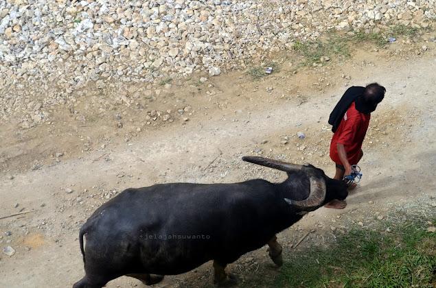 Kerbau atau tedong sebagai sumbangan untuk upacara Rambu Solok Tana Toraja || JelajahSuwanto