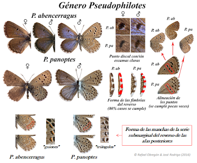 Claves Pseudophilotes panoptes y abencerragus