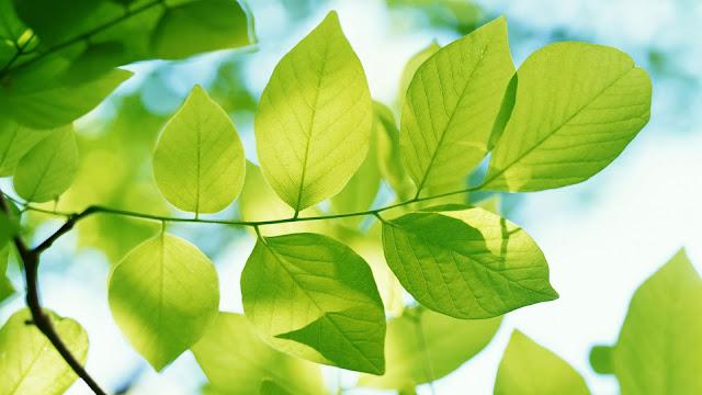 É possível uma folha gerar energia elétrica?