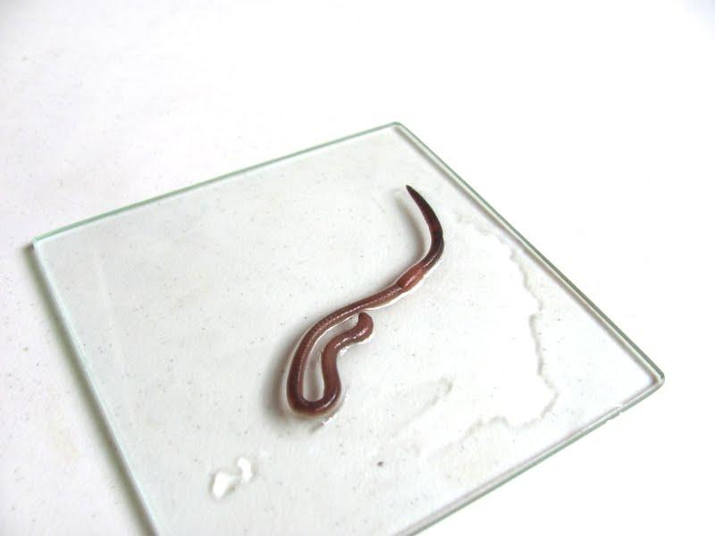 Дождевой червь - изучаем окружающий мир