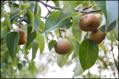 Asian Pears, St Francis Cottage Chattanooga Tennessee