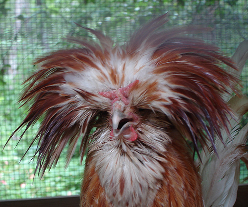 Backyard Chicken Fever