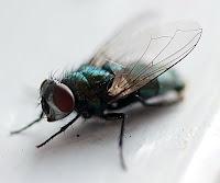Yakından yeşil bir sineğin görüntüsü