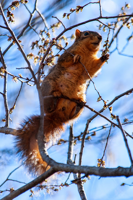 Red Squirrel, Colleyville Nature Center