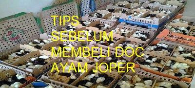 Tips Membeli DOC Ayam Kampung Super Yang Bagus dan Berkualitas