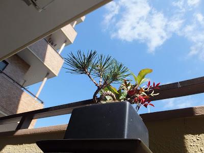 ベランダの黒松の盆栽