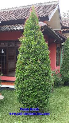 Jual Pohon Pucuk Merah | Pohon Syzygium  Oleina | Tanaman Pucuk Merah Varigatha