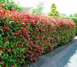 Jual Pohon Pucuk Merah Harga Murah,Jual Tanaman Hias Pucuk Merah,Jual Bibit Pohon Pucuk Merah
