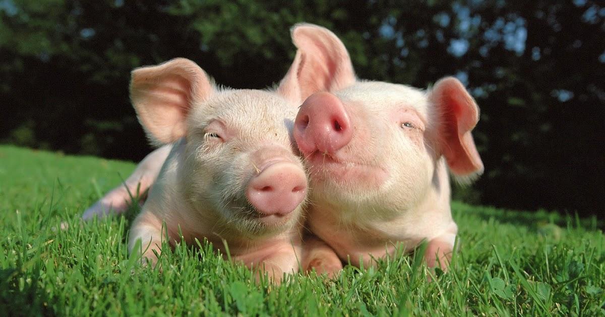 Qué significa soñar con cerdos? - Diccionario de Significado de los ...