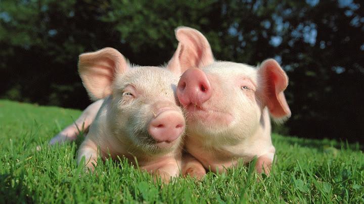 Soñar con cerdo