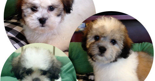 Shampoodles Grooming Coconut Creek Teddy Bear Puppies Shampoodles Pet Grooming Parkland Fl