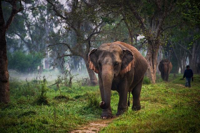 مدة-حمل-الفيل-الاسيوي