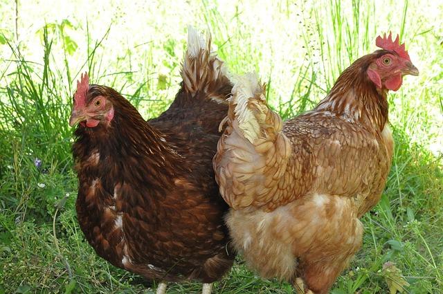 Rincian Biaya Modal Usaha Ternak Ayam Petelur - Investasi ...