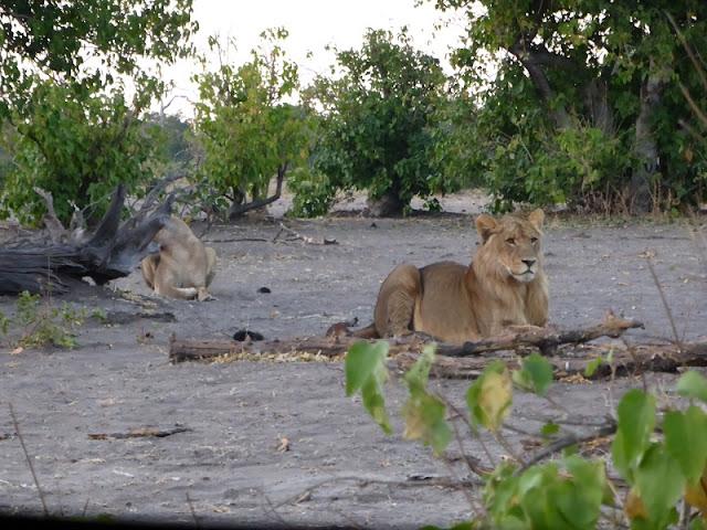 León joven y leona al fondo
