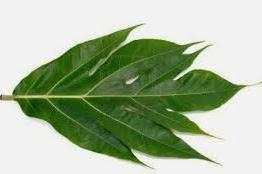 Obat herbal untuk penyakit jantung dari daun sukun