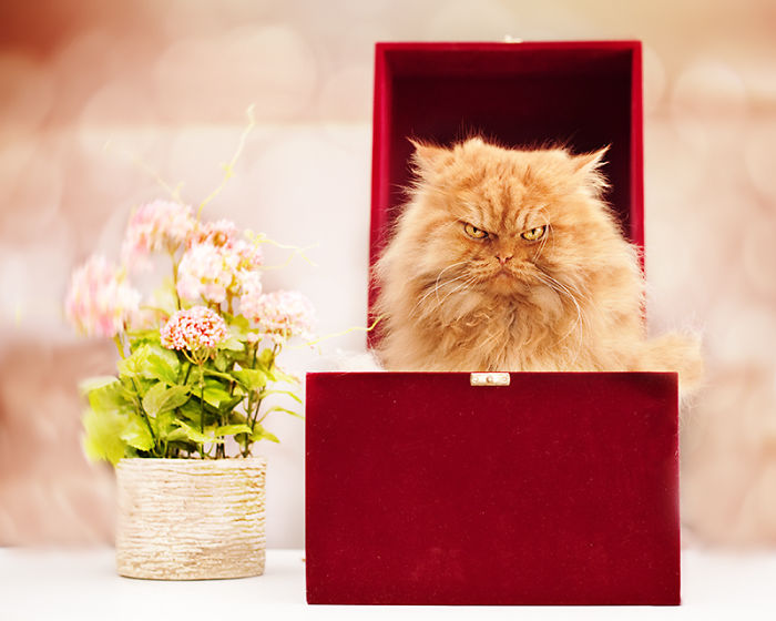 garfi-evil-grumpy-persian-cat-13