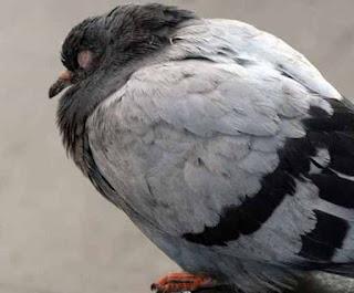 Tips Cara Mengobati Burung Merpati Yang Sakit