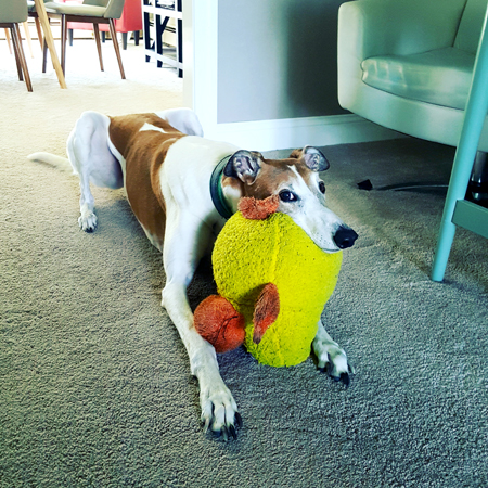 image of Dudley the Greyhound lying on the floor with his chin resting on a giant plush duck