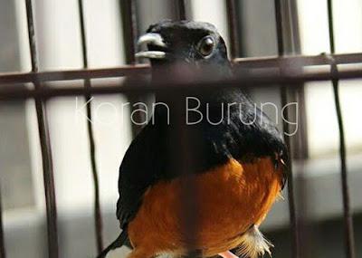 Unggas akan mengalami siklus wajib pergantian  Perawatan Pada Burung Murai Batu Yang Mabung / Molting / Ngurak