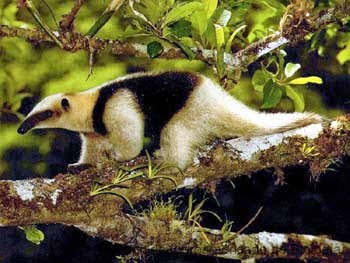 Tamandua mexicana