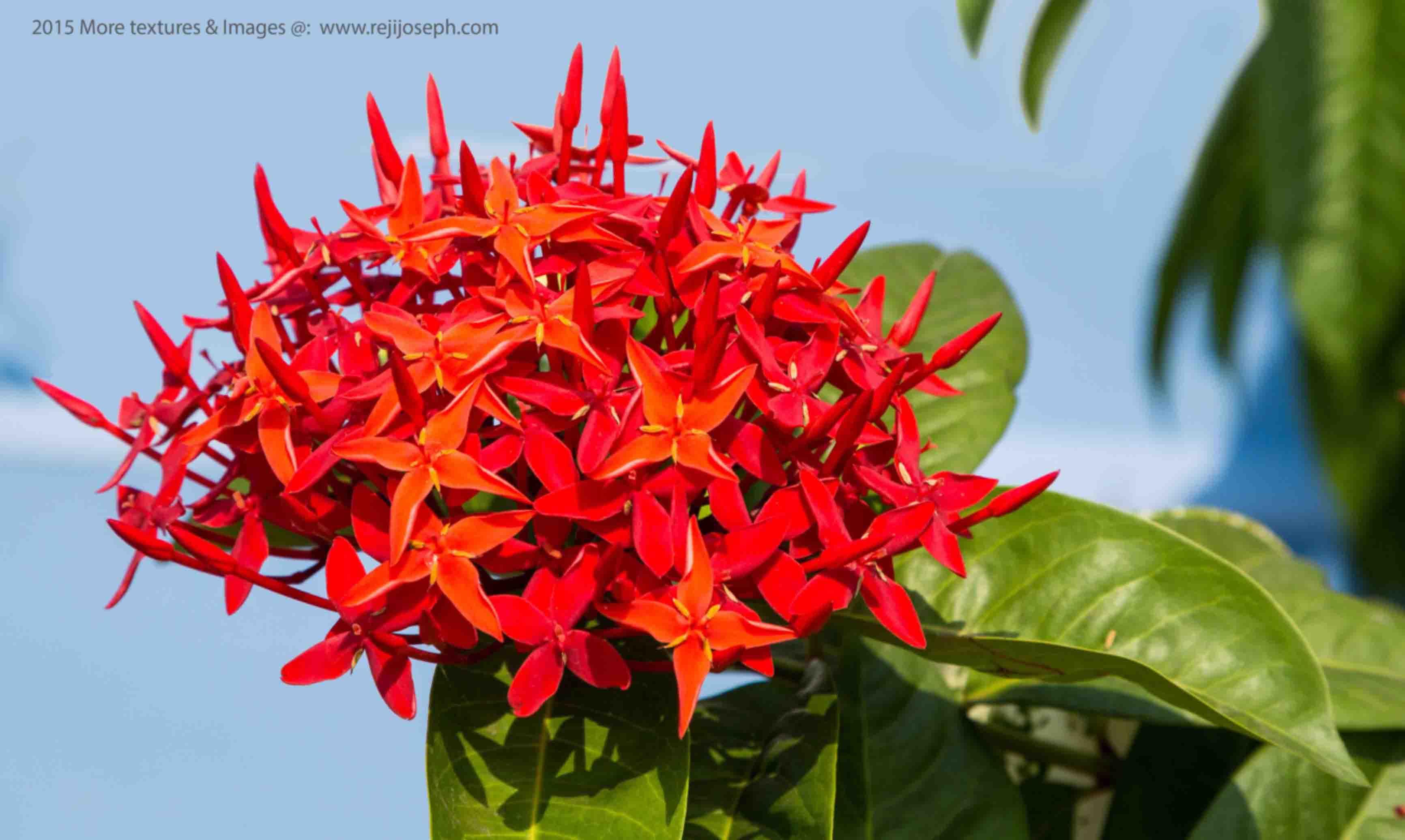 Ixora coccinea flower 00003