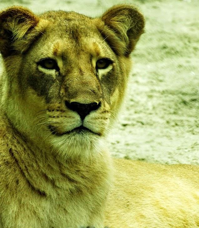 O olhar atento ou assustado da leoa