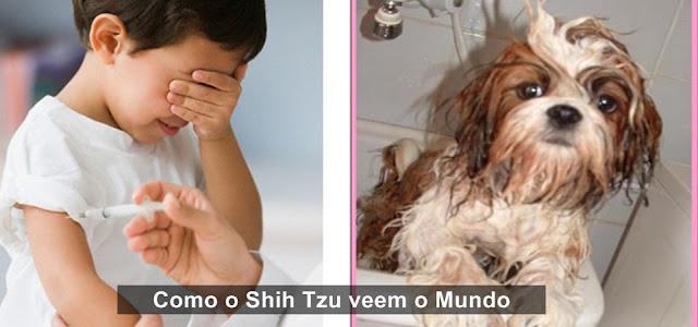 Como o Shih Tzu veem o Mundo