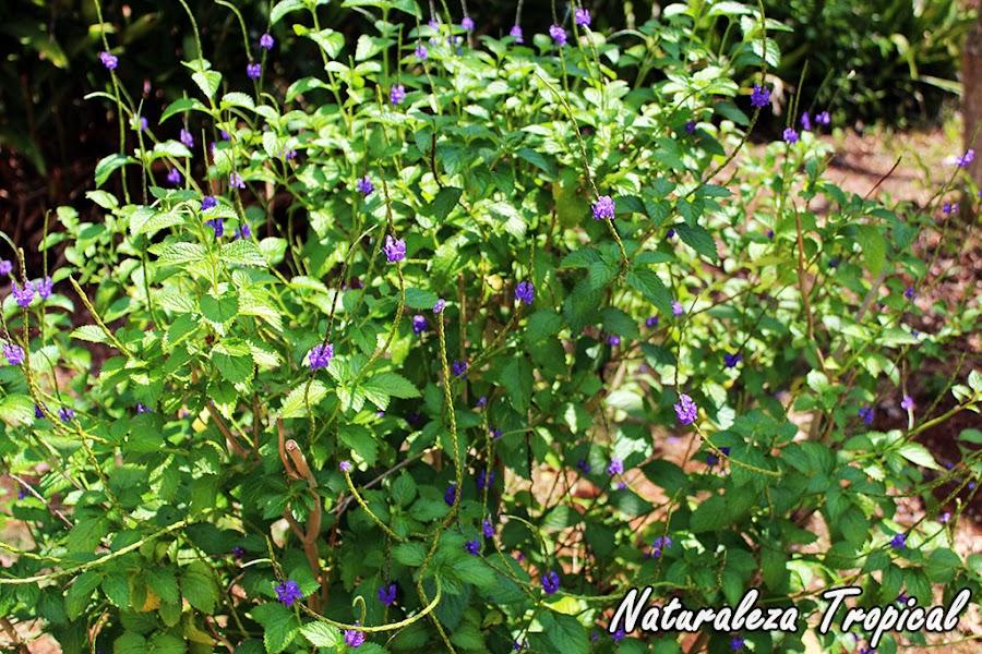 Arbusto de la Verbena Cimarrona u Hoja de Corrimiento, Stachytarpheta jamaicensis